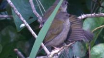 Three Juvenile Red-Browed Finches Preen In The Undergrowth