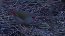 A Red-Browed Finch Forages On The Forest Floor And Leaves