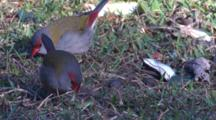 Red-Browed Finches Eat Grass Seeds On A Meadow
