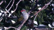 A Perched Red-Browed Finch Scratches Itself And Preens