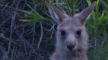 A Kangaroo Joey Gets Up And Looks At The Camera