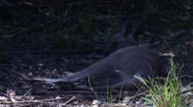 An Eastern Grey Kangaroo Has A Lie Down On The Forest Floor