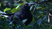 A Pied Currawong Forages On A Blueberry Ash Tree