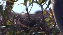 The Nest Of A Pied Currawong On A Gum Tree