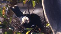 A Pied Currawong Incubates Eggs In Its Nest