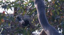 A Pied Currawong Incubates Eggs In Its Nest On A Gum Tree