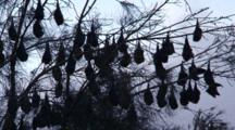Flying-Foxes Roost On Casuarina Trees During Daytime Hours