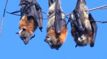 Flying-Foxes Are Social Mammals And They Roost High Up In Trees