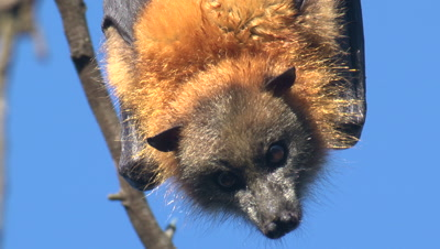 A Flying-Fox Watches The Cameraman And Turns Around