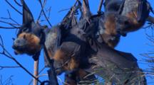 Flying-Foxes Roost In Treetops, Hanging By Their Hind Feet
