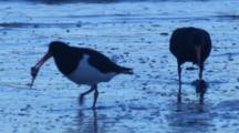 Pied Oystercatchers Find Food On A Beach