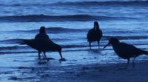 Sooty Oystercatchers Forage And Find Food On A Beach