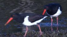 A Pied Oystercatcher Forages On A Mudflat