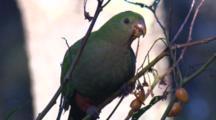 A Female Australian King-Parrot Feeds On Kangaroo Apple