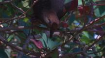 A Brown Cuckoo-Dove Eats The Berries Of A Bush