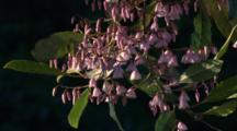 Blueberry Ash Blossoms Appear In Pink Or In White Colour