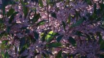 Pink Blueberry Ash Blossoms / With Fast Left Pan