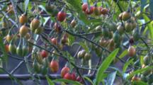 Poisonous Kangaroo Apple Are Favoured Food By Many Birds