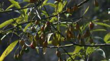 Kangaroo Apple Are Favoured Food Of Many Birds