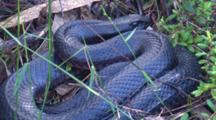 A Red-Bellied Black Snake Pauses Coiled Up