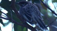 A Juvenile Wattlebird Waits For Food Drops By Its Parents