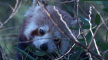 The Red Panda Is An Arboreal Mammal With A Preference For Bamboo