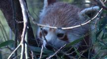 Red Pandas Are Arboreal Mammals With A Preference For Bamboo