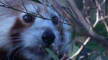 Red Pandas Prefer Bamboo, But Will Eat Other Plant Matter And Eggs