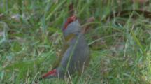 A Red-Browed Finch Feeds On Grass Seeds