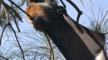 A Fruit Bat Stretches Its Umbrella-Like Wing
