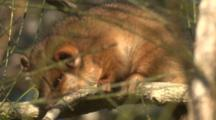 A Juvenile Ringtail Possum Snoozes On A Casuarina Branch