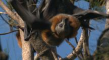 Fruit Bats Interact And Mate On A Casuarina Tree