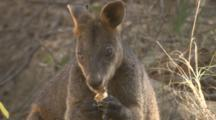 A Wallaby With A Torn Ear Feeds On Fungi
