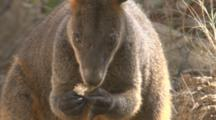 A Wallaby Feeds On Fungi