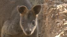 A Wallaby With A Torn Ear Looks Around And Leaves