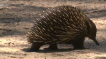 An Echidna Crosses The Walkway In A Nature Reserve