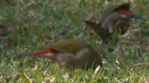 Red-Browed Finches Forage On A Meadow