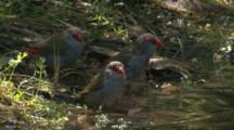 Red-Browed Finches Take A Bath In A Pond