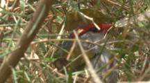 A Red-Browed Finch Works On Its Nest