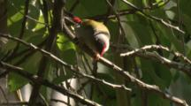 A Red-Browed Finch Checks Out Plant Fiber For Nest Building