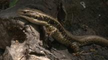 A Lizard Searches For Insects On A Fallen Tree And Leaves
