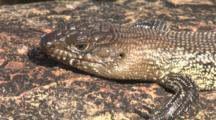 A Lizard Recharges Its Batteries On A Warm Rock