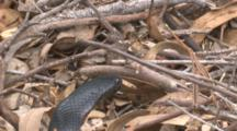 A Snake With Flattened Neck Forages In Ground Cover