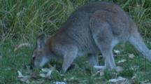 A Wallaby Feeds On A Meadow At Dusk