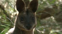 A Wallaby In The Scrub Looks At The Camera