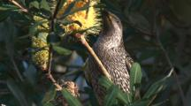 A Little Wattlebird Forages On Banksia Bloom