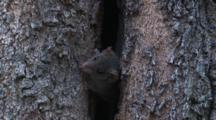 A Brown Antechinus Walks Back Into Its Tree Home
