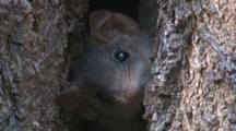 A Brown Antechinus Appears At The Entrance To Its Tree Home