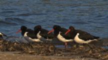 A Flock Of Pied Oystercatchers Gather On A Beach