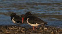 Three Pied Oystercatchers Rest Near The Water